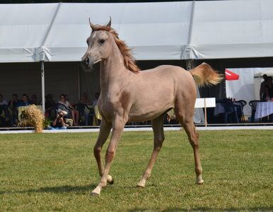 """Jest decyzja w sprawie aukcji """"Pride of Poland"""" i pokazu koni. Gdzie się..."""