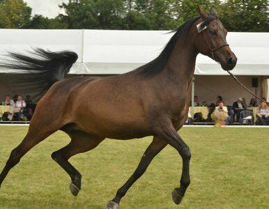Aukcja koni arabskich w Janowie Podlaskim odbędzie się. Wiadomo już kiedy