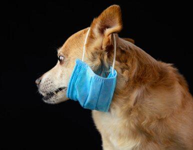 Pies z pozytywnym wynikiem testu na koronawirusa. Zarządzono dalsze badania