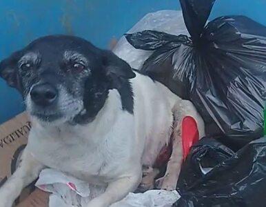 Pies zachorował na raka, został porzucony na śmietniku. Żyje tylko...