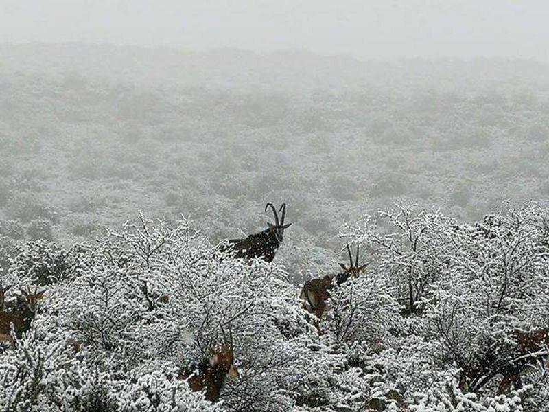 Antylopy w śniegu