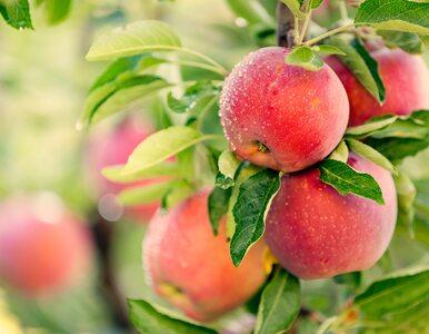 Jabłka droższe o 94 proc. Pandemia i susza odbijają się na cenach owoców