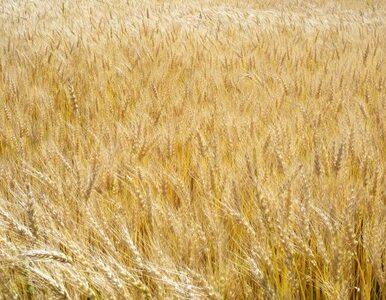 Chleb będzie droższy? Rosja może wprowadzić cło na eksport zbóż