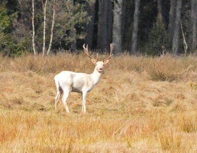 """Daniel albinos w lesie na Pomorzu. """"To spora atrakcja przyrodnicza"""""""