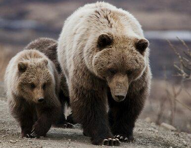Niedźwiedź grizzly rzucił się na mężczyznę. Jego rodzina filmowała...