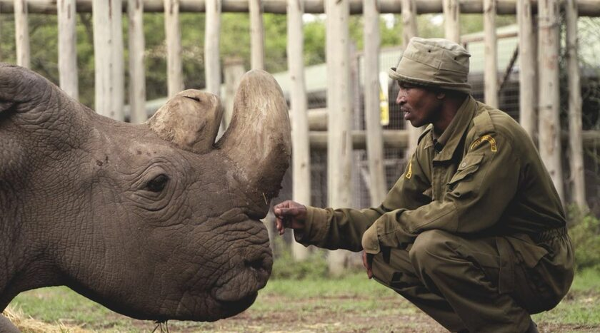 Nosorożec Sudan