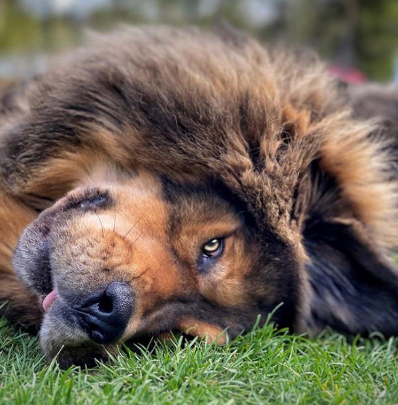 Mastif tybetański Ask