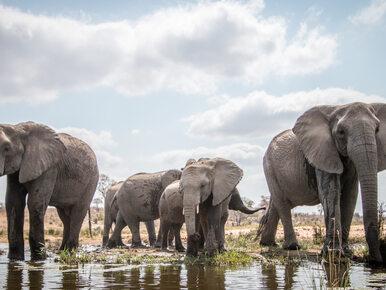 Donald Trump znosi zakaz importu kości słoniowej z Zimbabwe i Zambii