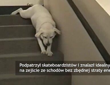 Najbardziej leniwy labrador na świecie?