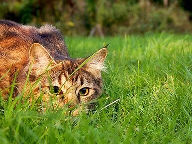 Czy kotu można narzucać dietę wegetariańską? Badanie SGGW udziela...