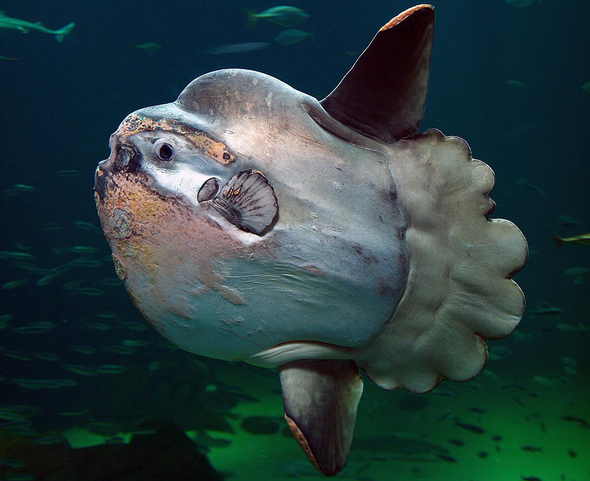 Ryba samogłów w oceanarium w Danii