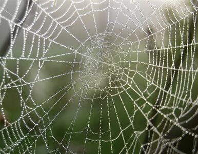Niemcy: atak jadowitego pająka w... dyskoncie