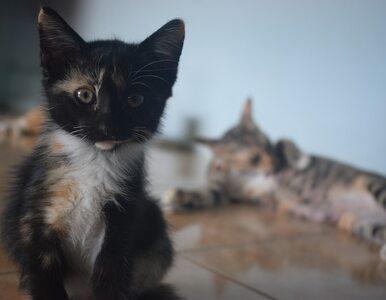 Czy zadrapanie przez kota jest niebezpieczne?