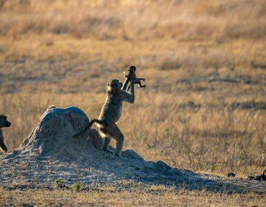 """Zdjęcie małp jak scena z filmu """"Król Lew"""". Fotografie zwierząt autorstwa..."""
