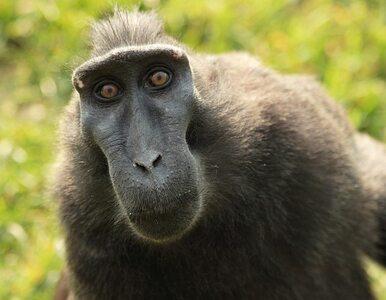 Polacy jako małpy na ulotkach brytyjskiej partii
