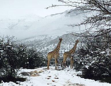 Żyrafy, słonie, antylopy i... śnieg. Tak wygląda zima w RPA