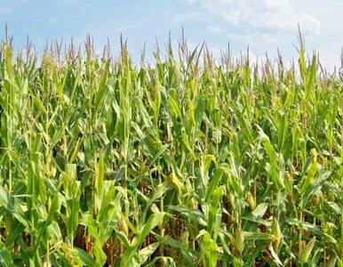 PiS nie chce pasz GMO