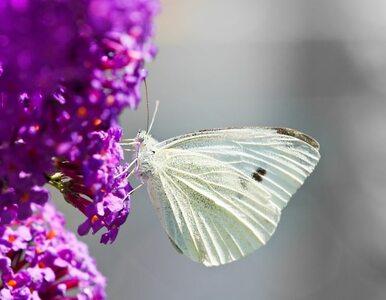 Do USA przyleciał rój motyli wielkości... stanu Missouri