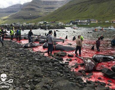 Rzeź zwierząt na należących do Danii Wyspach Owczych (DRASTYCZNE)