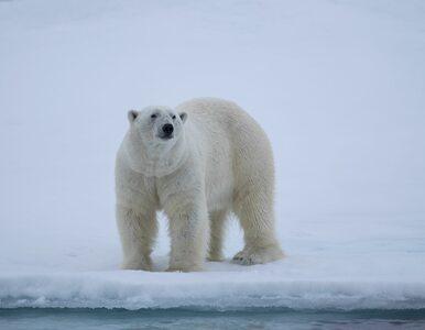 Inwazja niedźwiedzi polarnych. Rosyjskie władze mają problem